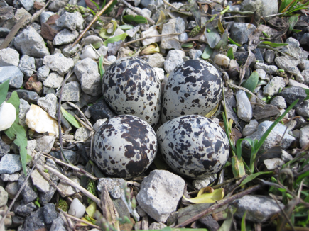 Killdeer eggs 1